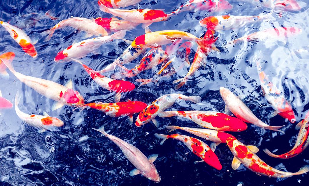 Faszination Koi 鯉 – Japanische Zierkarpfen